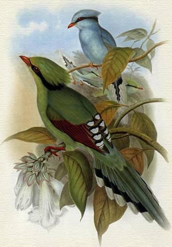Цисса зеленая (Cissa chinensis)