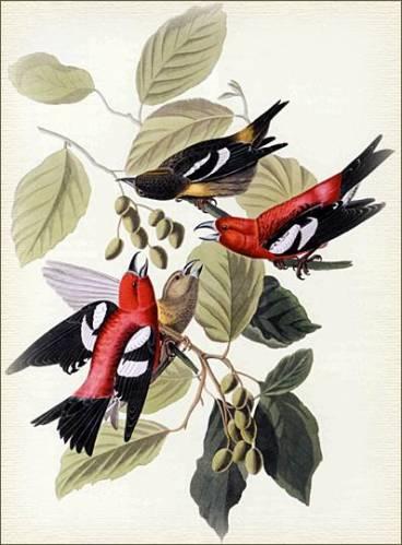 Клест белокрылый (Loxia leucoptera)